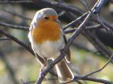 Perching Birds (Passeriformes)