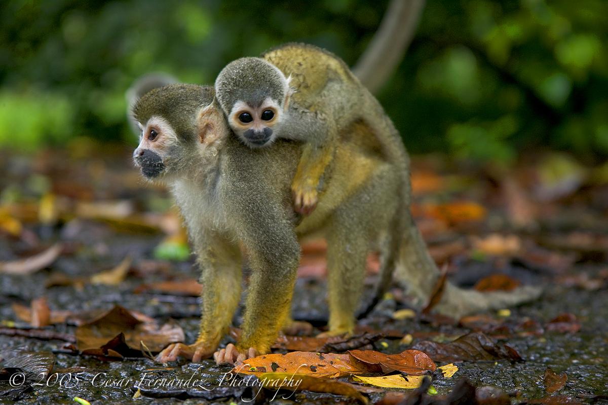 Mono Ardilla o mono tití.