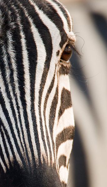 Burchells Zebra - Detail