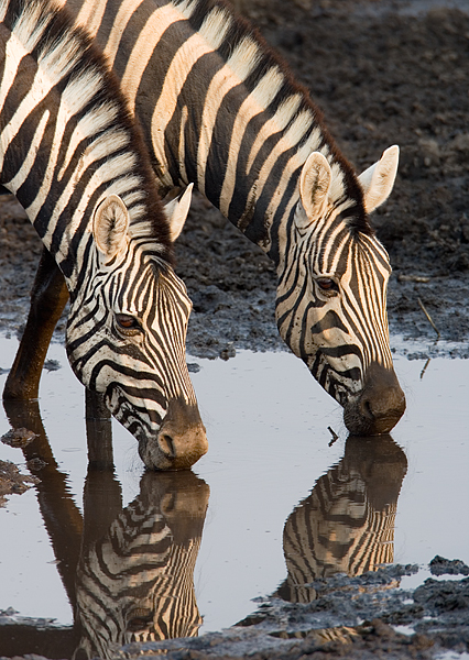 Zebra-pair-drinking.jpg