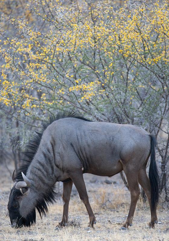 Blue Wildebeest (Streifengnou)