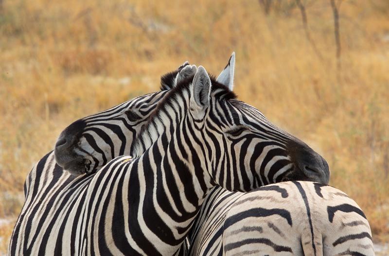 Burchells Zebra (Steppenzebra)