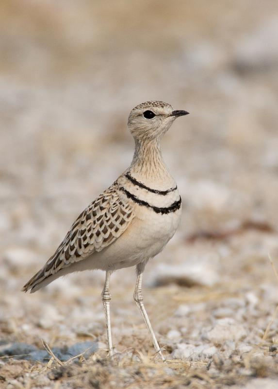 Double-banded Courser (Smutsornis africanus)