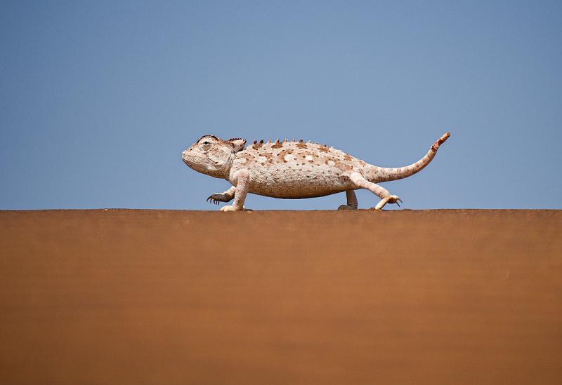 Camaleon Namaqua