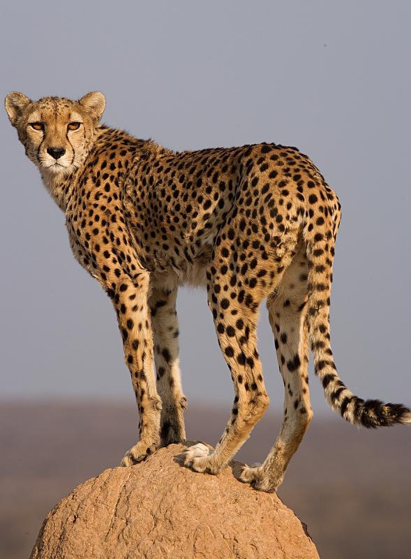 Cheetah on top of termite mount