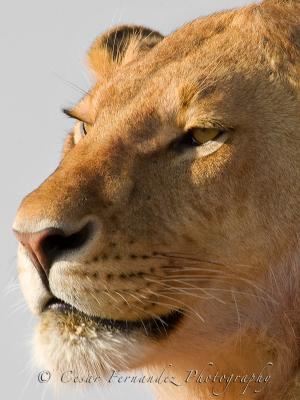 Young Male Lion - Phantera Leo.jpg