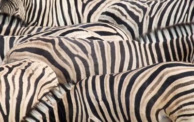 Burchell Zebras' Stripes Pattern