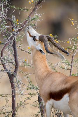 Springbokok & Flowering Yellow Acacia