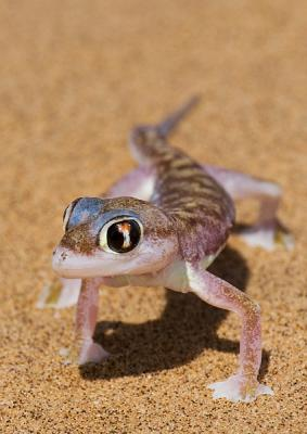 _Palmato Gecko