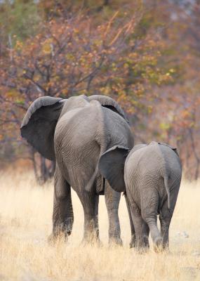 African Elephants (Afrikanischer Elefant)