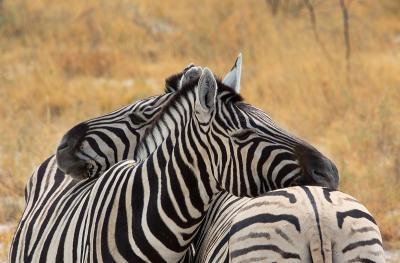 Burchell's Zebra (Steppenzebra)