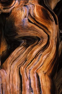 Bristlecone Pine - Detail