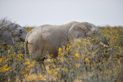 Desert Elephants, Etosha National Park.