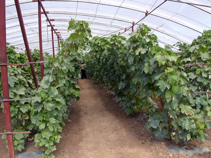 Harbin - Grapes in greenhouse