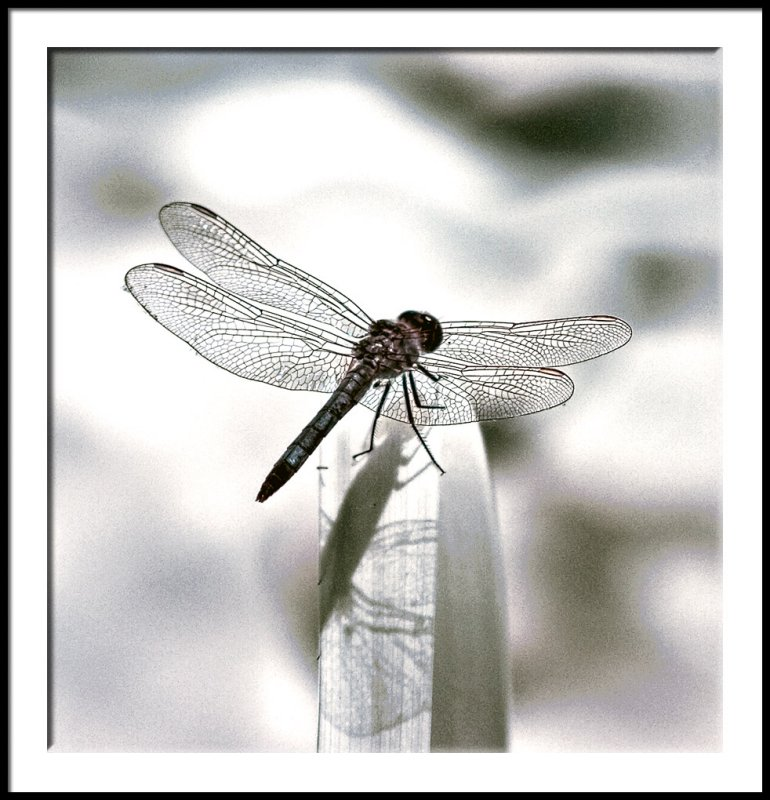 Infrared Dragonfly