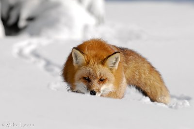Red Fox belines a trail