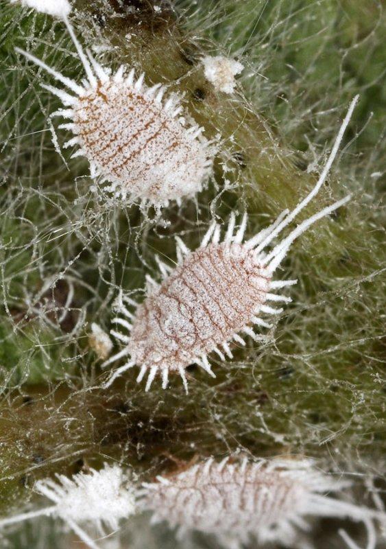 Pseudococcus-longispinus.jpg