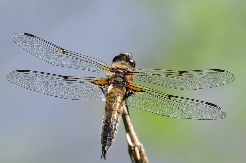 Libellula-quadrimaculata.jpg