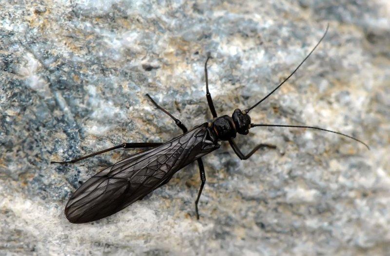 Plecoptera.jpg