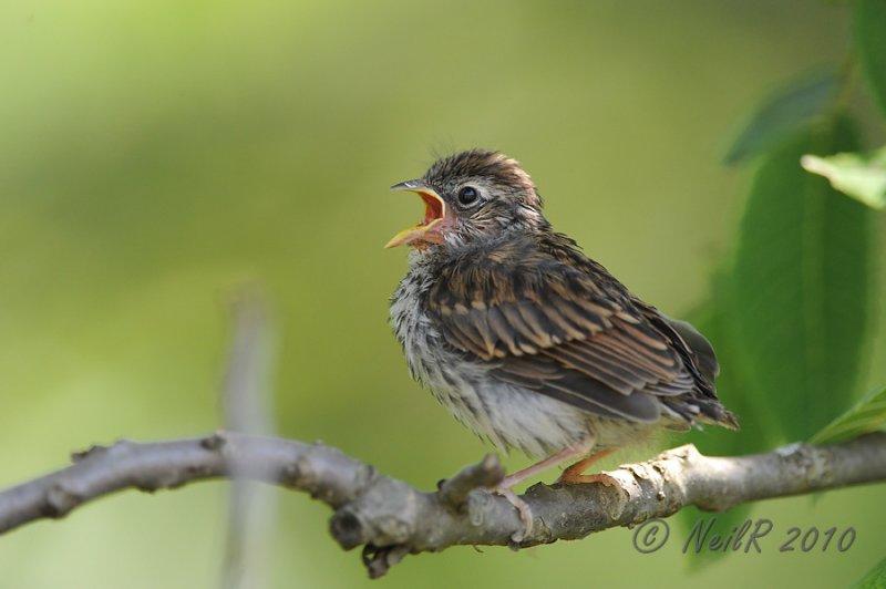 Fledgling Song Sparrow DSCN_201850.JPG