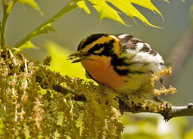 Blackburninan Warbler