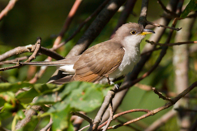 Yellow-billed Cuckoo.jpg