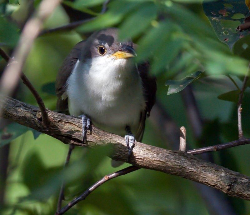 Yellow-billed Cuckoo3.jpg