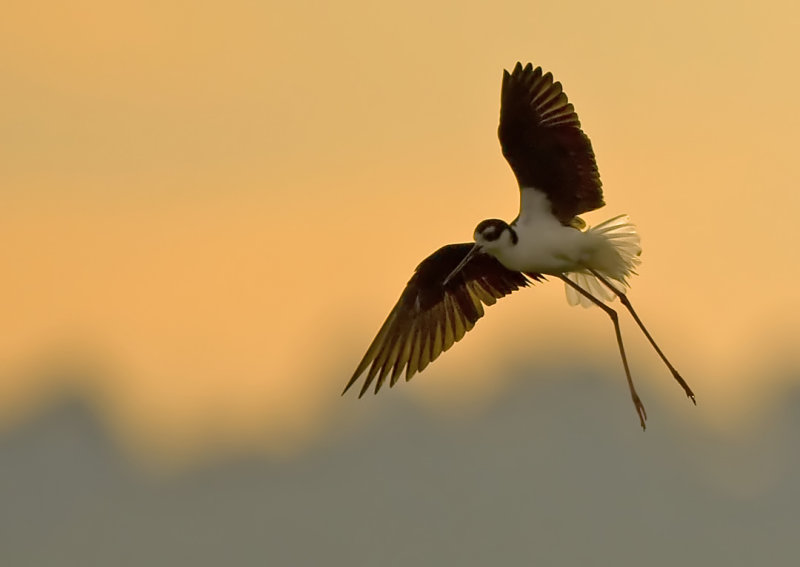 Black-necked Stilt 4835a