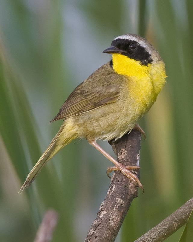 Common Yellowthroat 4917