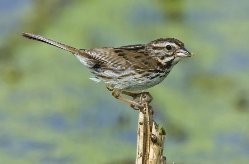 Song Sparrow with food 5261