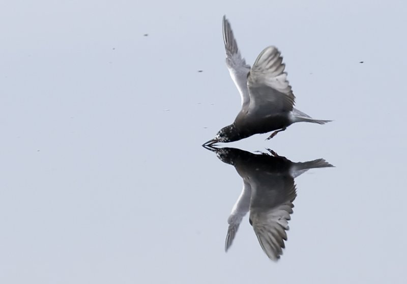 Black Tern Feeding 5322