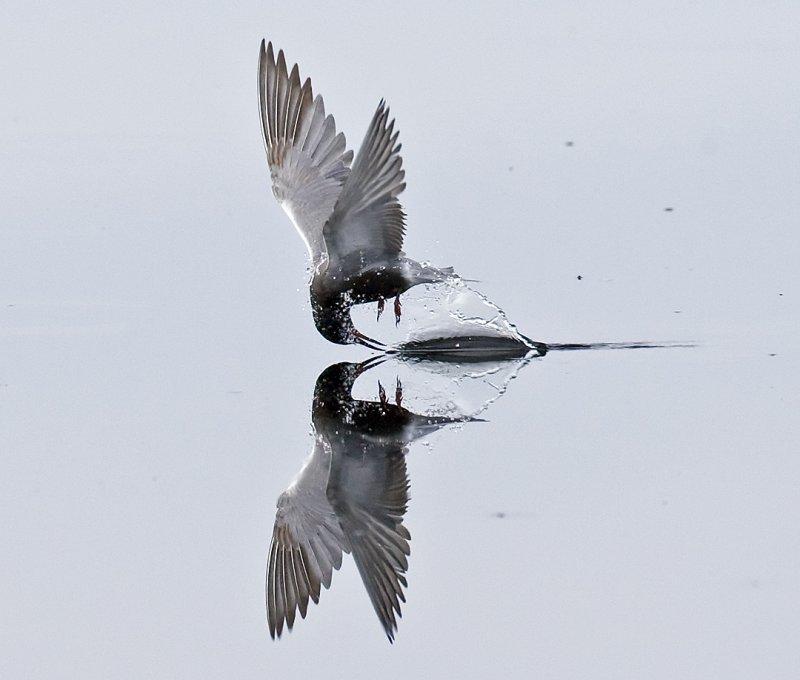 Black Tern Feeding 5323