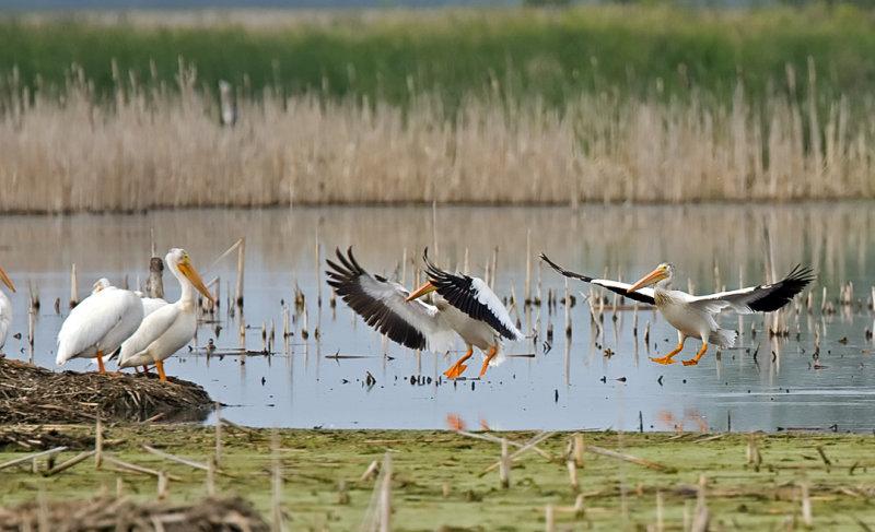 American White Pelicans 5362