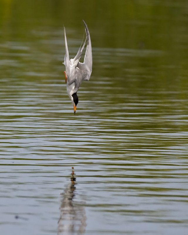 Forsters Tern diving 5960