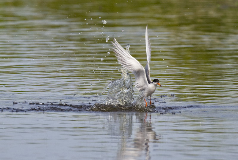 Forsters Tern diving5978