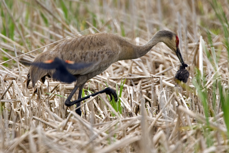 Sandhill Crane with baby Red-winged Blackbird 6345
