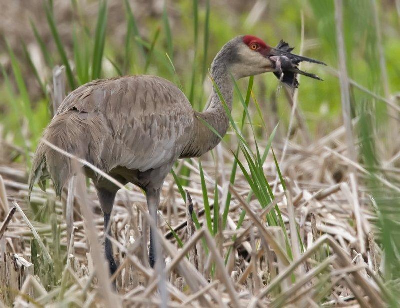 Sandhill Crane with baby Red-winged Blackbird 6403
