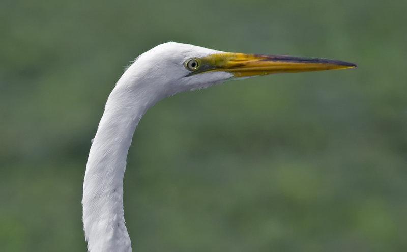 Great Egret 6100