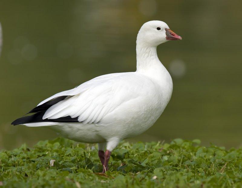 Rosss Goose