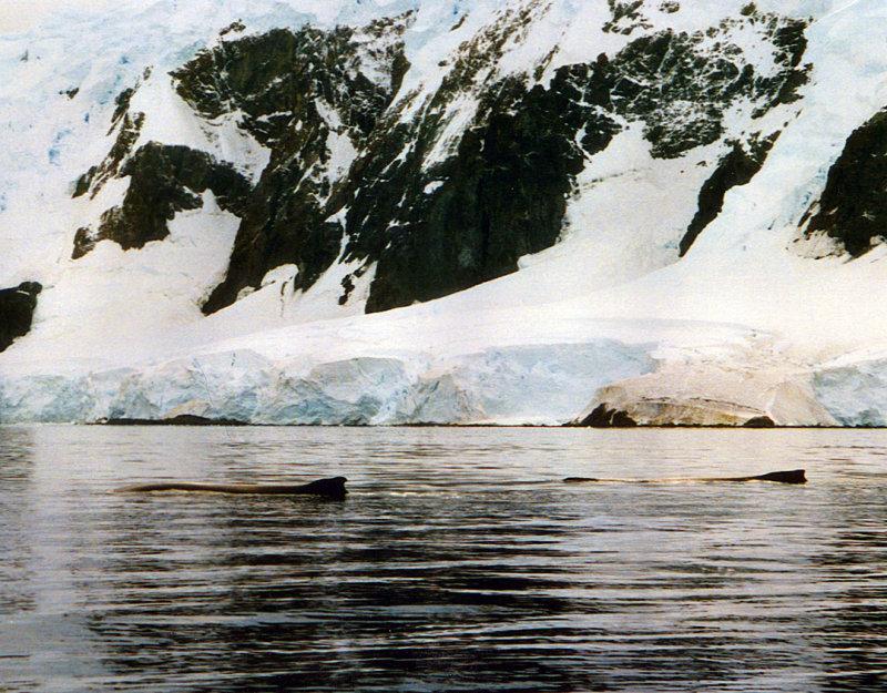 Humbacks 2