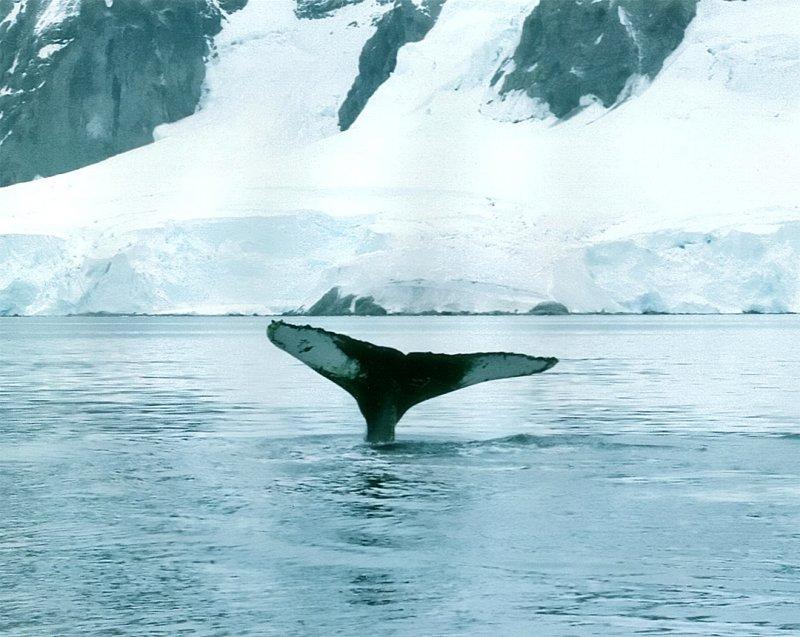 humpback 2