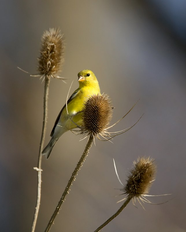 American Goldfinch 3347