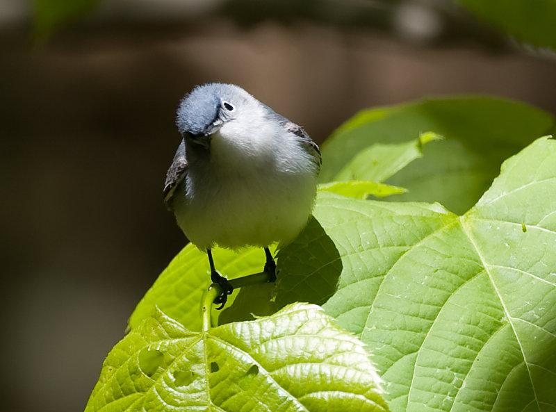 Blue-gray Gnatcatcher 6103