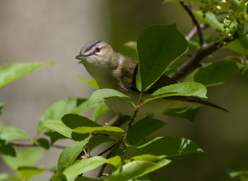Red-eyed Vireo 6130