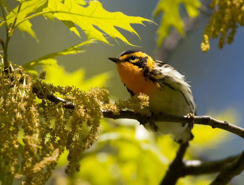 Blackburnian Warbler 6194