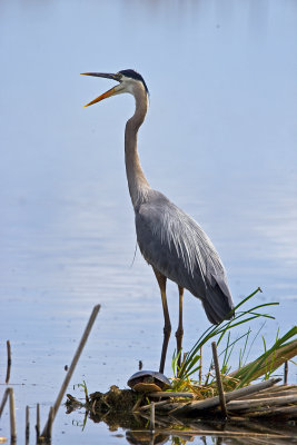 Great Blue Heron and Painted Turtle 6284
