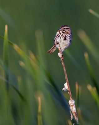 Song Sparrow 4665