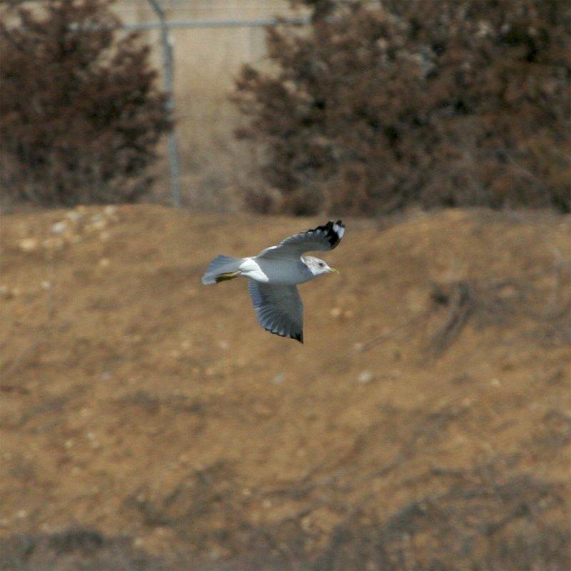 Mew Gull (Second Sighting) #3