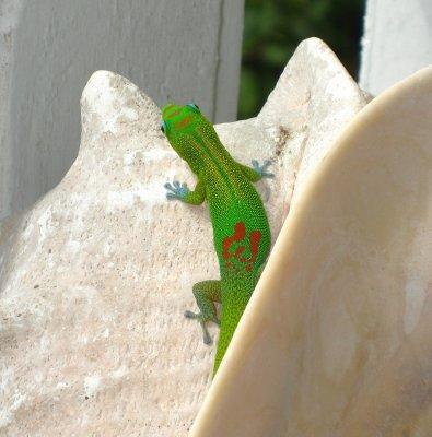 Hawaii - Gregarious Geckos