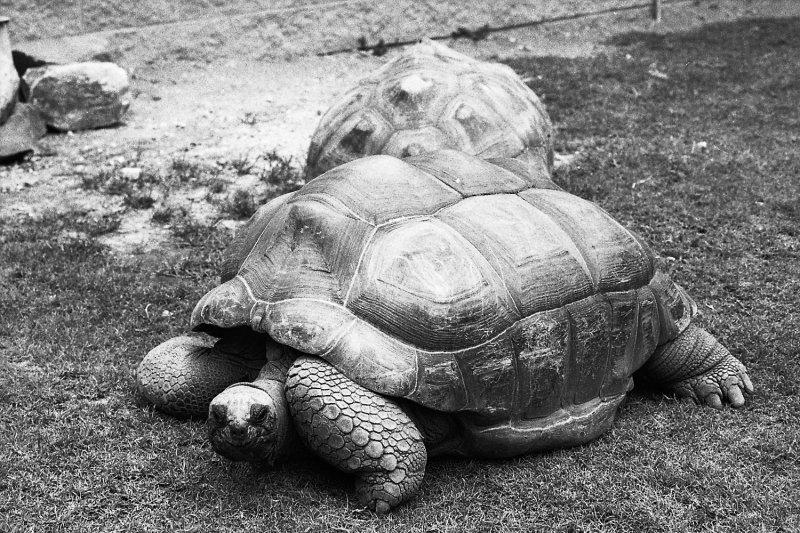 galapogose tortoise - male